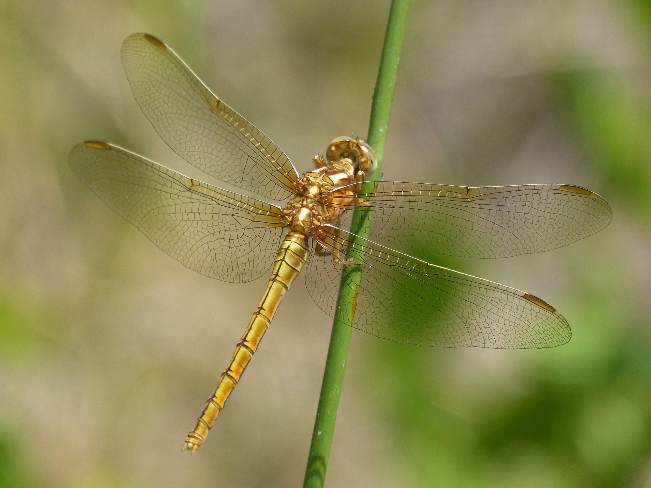 Золотая стрекоза - символ лёгкости